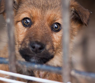 Brown Puppy  behind bars with big sad eyes.