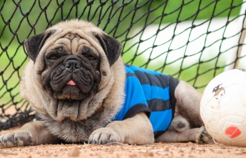 Pug dressed as a goalie laying on a dirt field by the soccer goal.